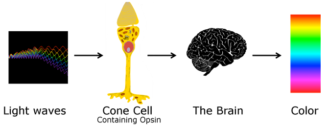 Lightwaves affect cone cells containing Opsin which affect the brain which precieves color