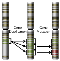 A chromosome originally conained one copy of the gene coding for the medium wavelength gene.  Gene duplciation caused it to contain three copies.  One copy remained unchanged, one copy became non-functional and one copy mutated to become long wave length sensative.