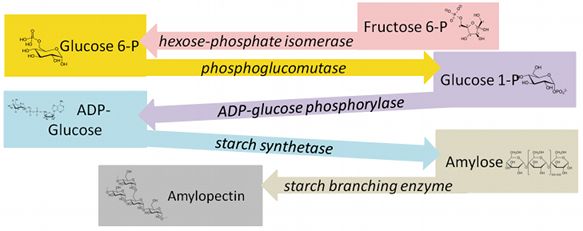Each step of the above process with a diagram of each moledule: Fructose 6-P, Glucose 6-P, Glucode 1-P, ADP-Glucose, Amylose, amyloprctin.